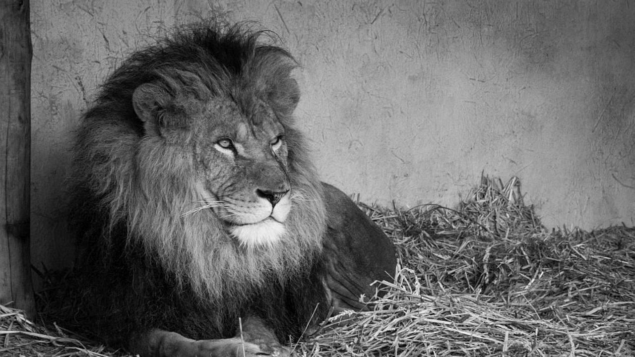 Löwe Eigenschaften: Stärken und Schwächen im Überblick