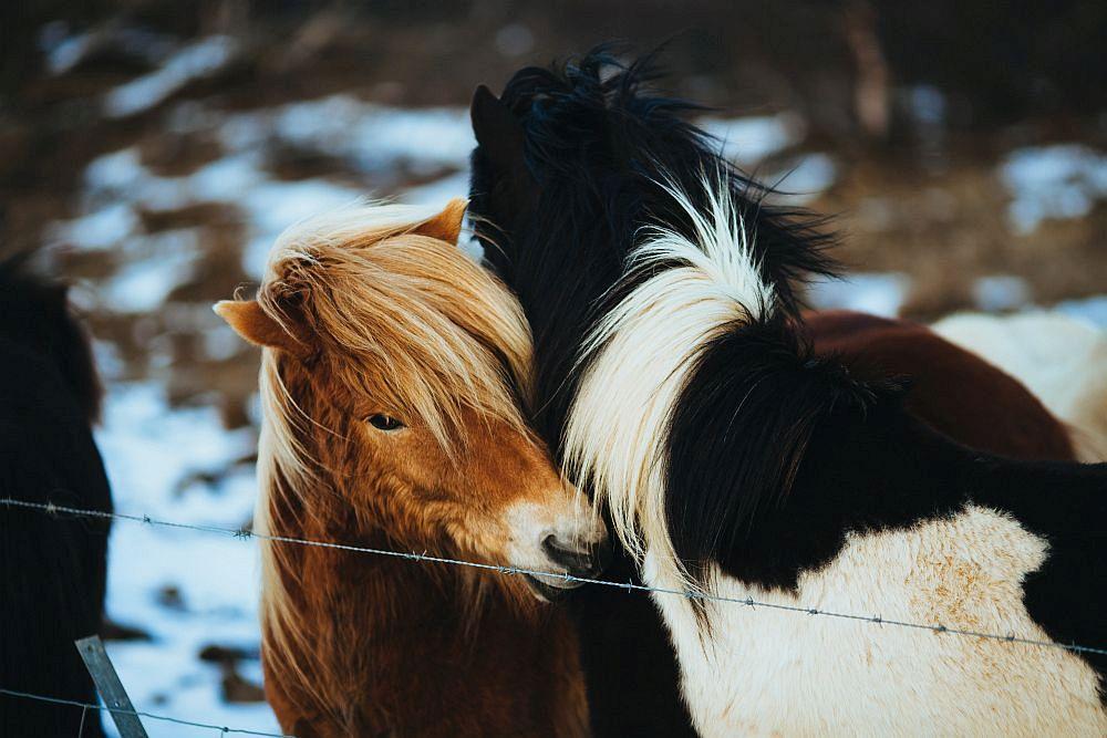 Willstu du einen Krebs Mann erobern, stell Nähe her, so innig wie bei diesen zwei Pferden.